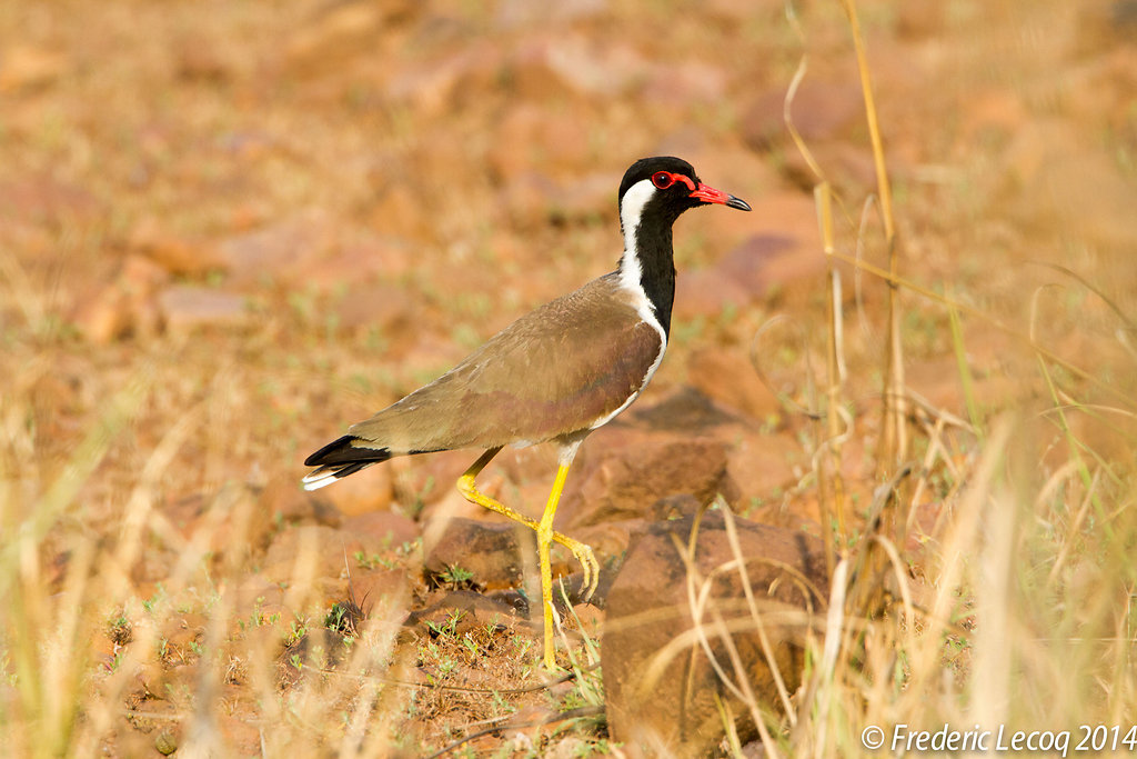 red wattled lapwing vanneau caronculé rouge